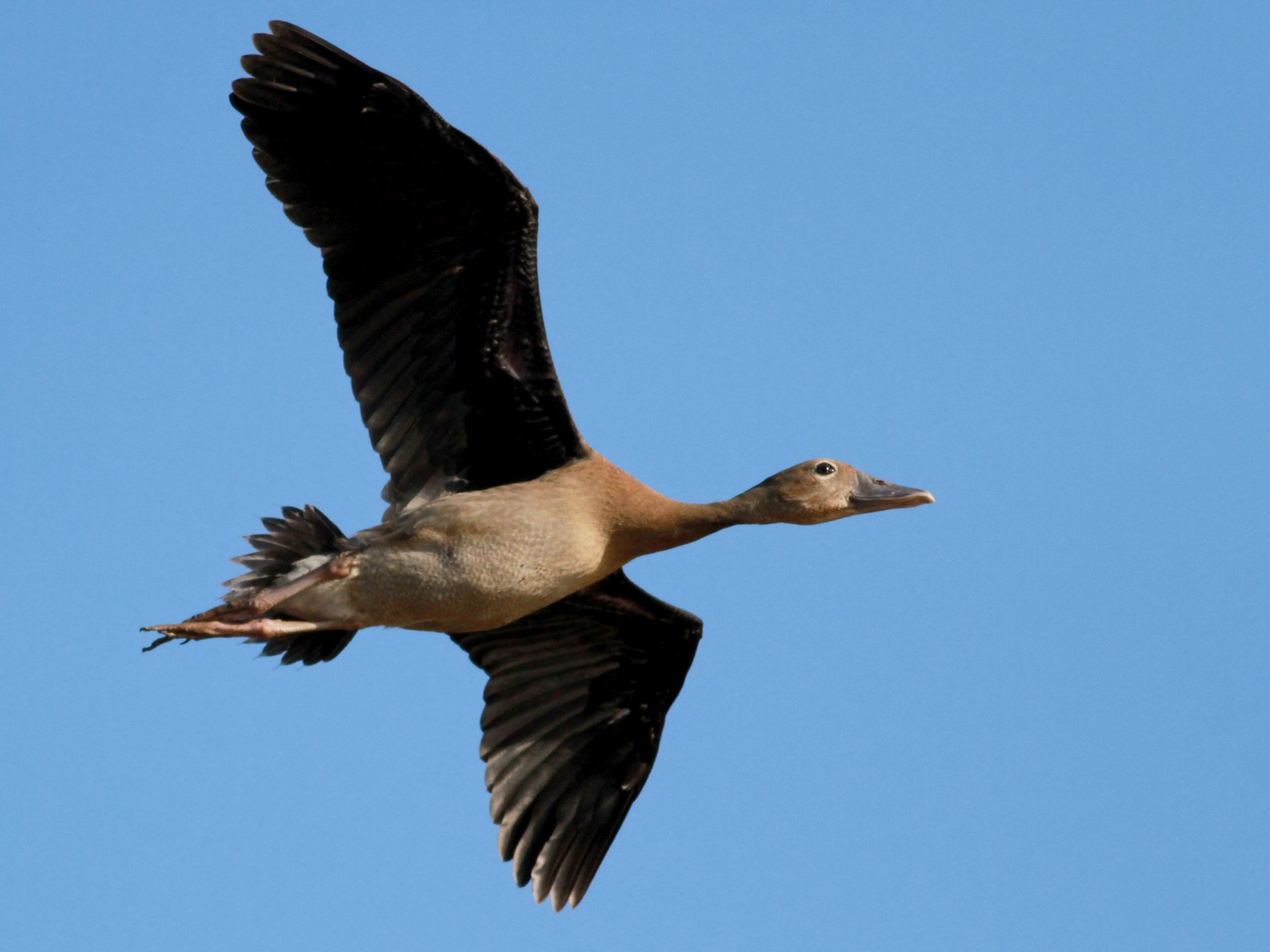 Black-bellied Whistling-Duck - Jay McGowan