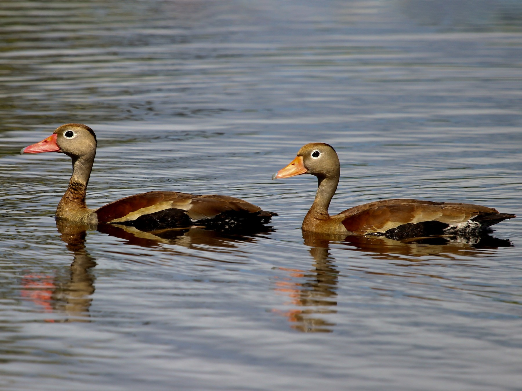 Black-bellied Whistling-Duck - Luis Mario Arce
