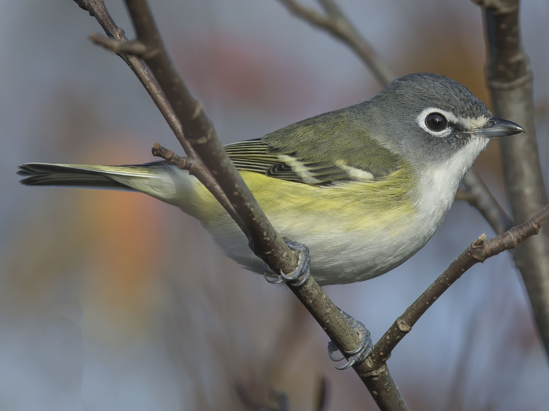 Blue-headed Vireo - Ronnie d'Entremont