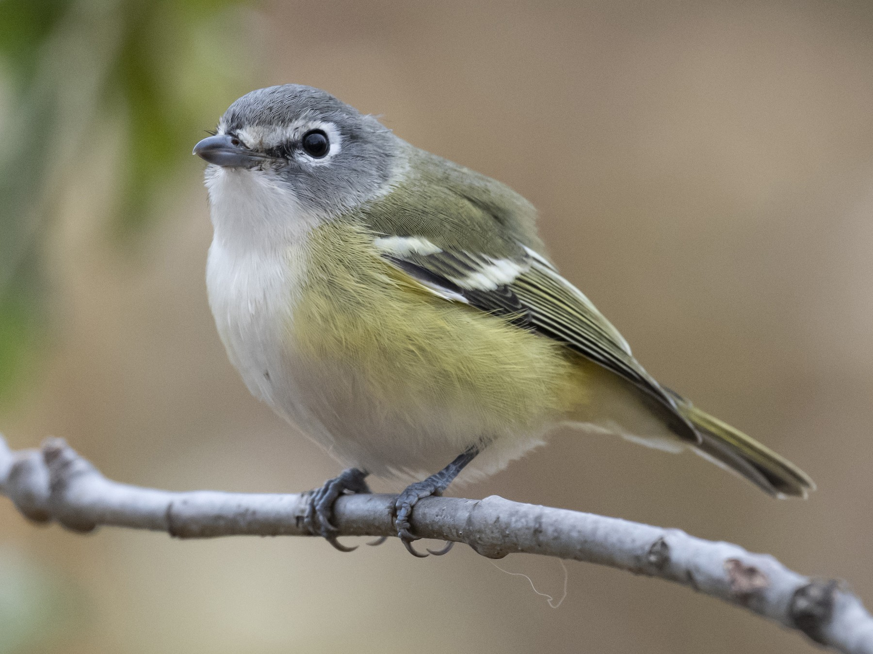 Blue-headed Vireo - Russ Smith