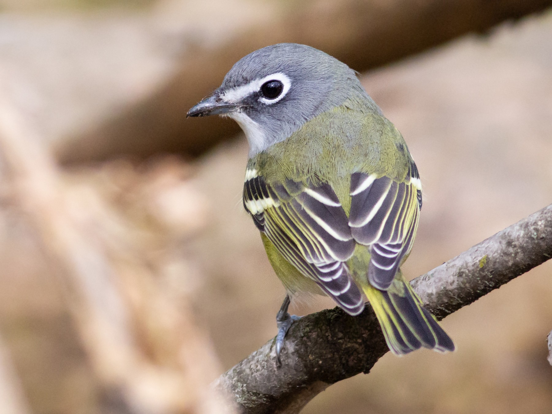 Blue-headed Vireo - Josh  Houck