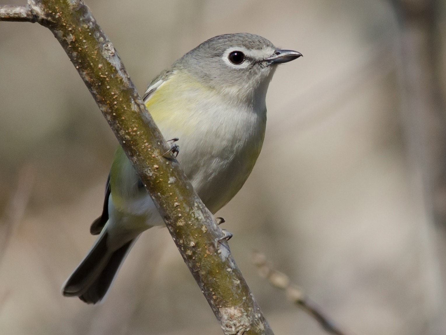 Blue-headed Vireo - Alix d'Entremont