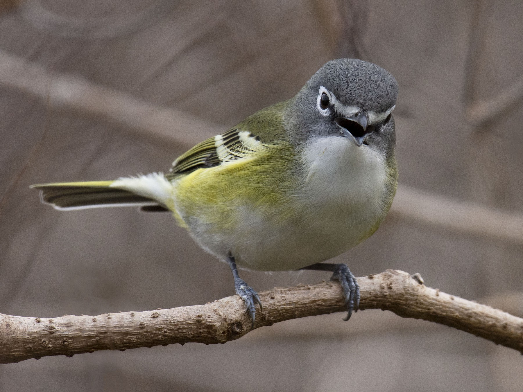 Image result for blue headed vireo