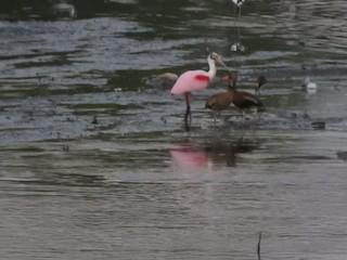 Black-bellied Whistling-Duck, ML302321211