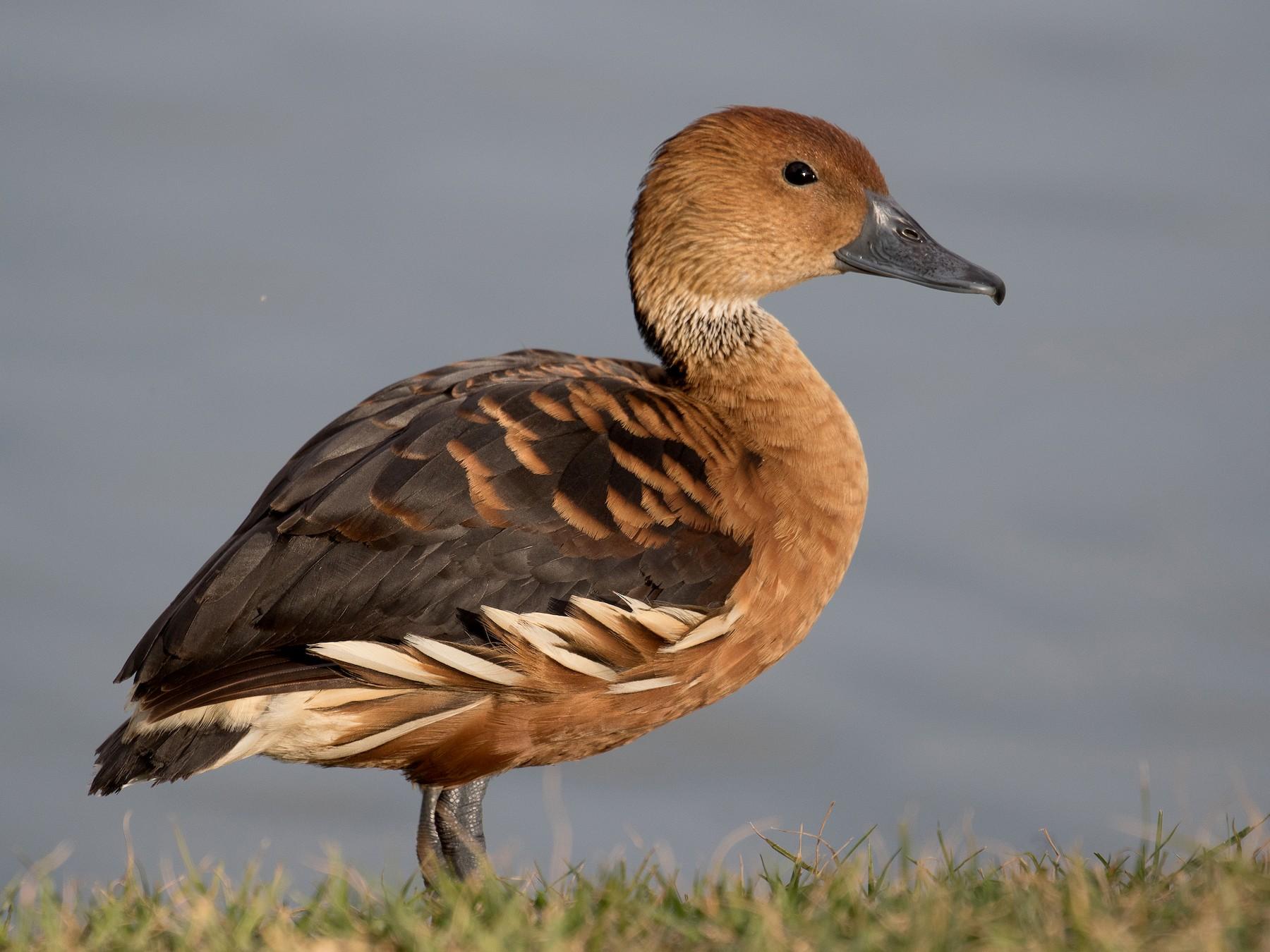 Fulvous Whistling-Duck - Lynette Spence
