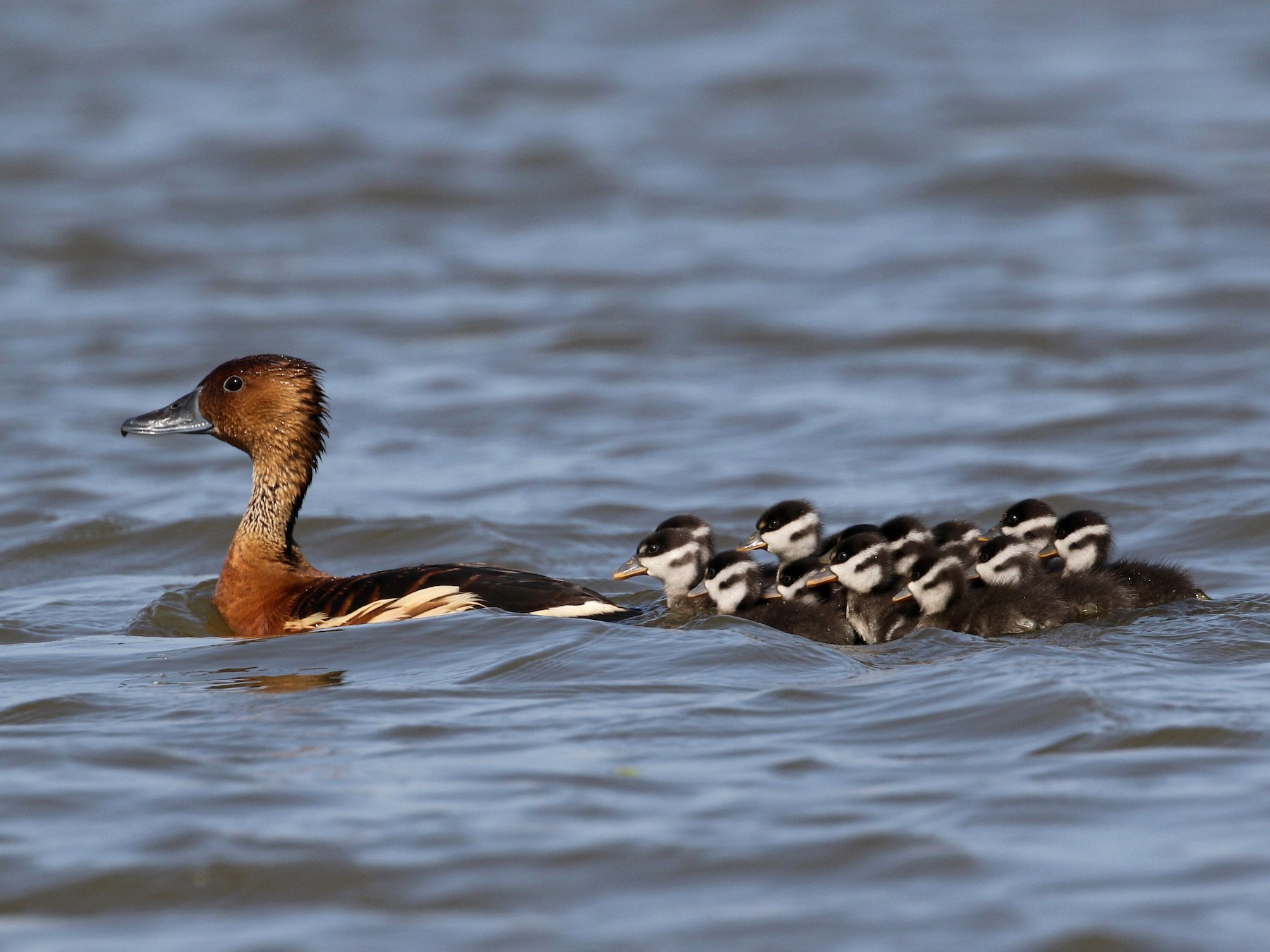 Fulvous Whistling-Duck - Daniel Branch