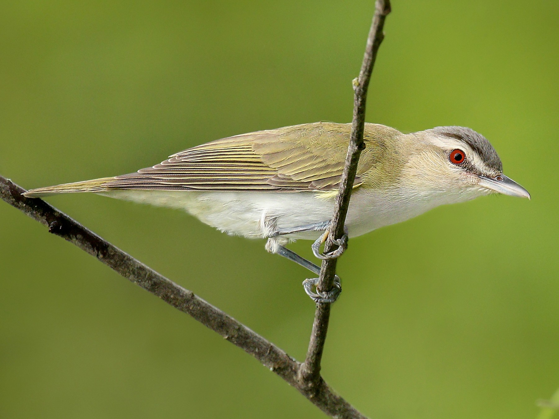 Red-eyed Vireo - Ryan Schain