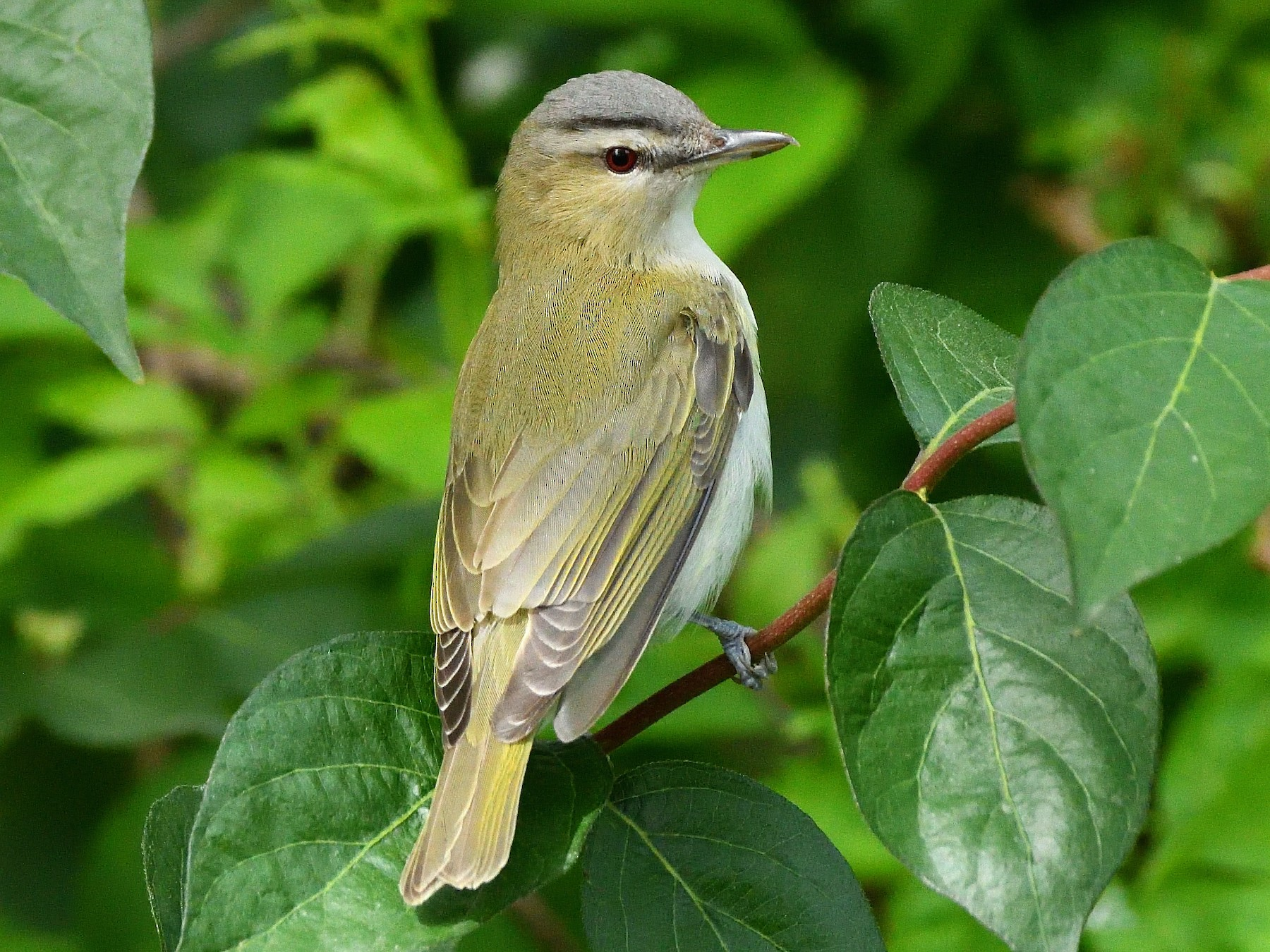 Red-eyed Vireo - Adam Zahm