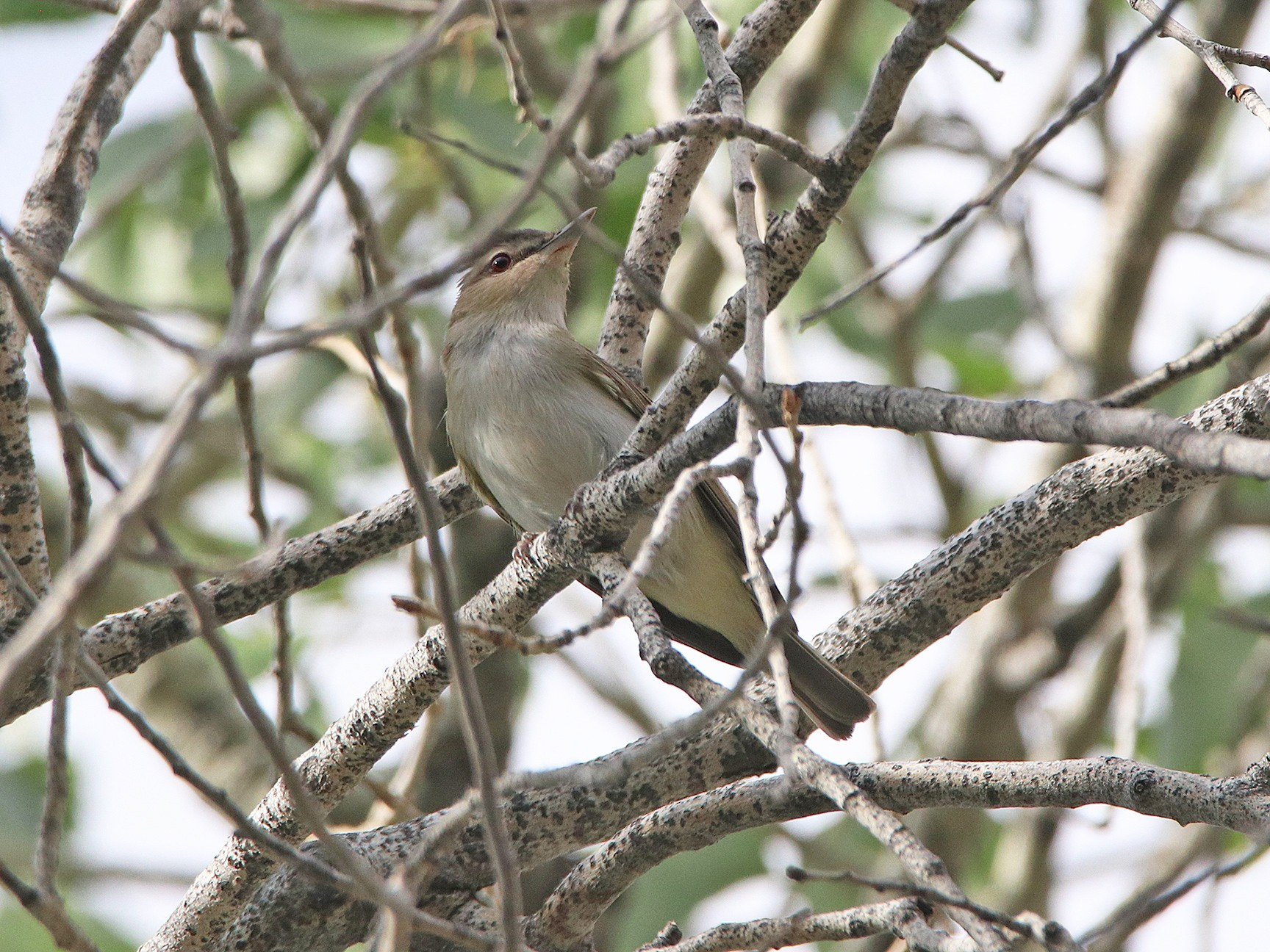 Red-eyed Vireo - Tim Avery