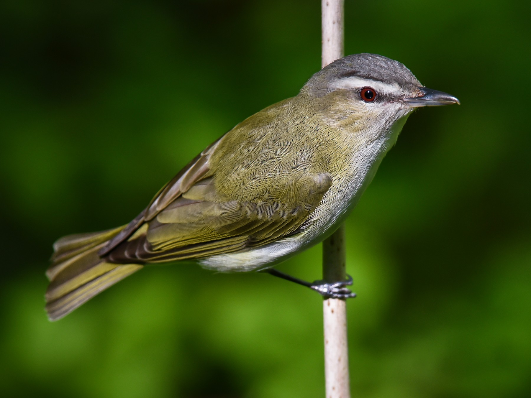 Red-eyed Vireo - Scott Martin