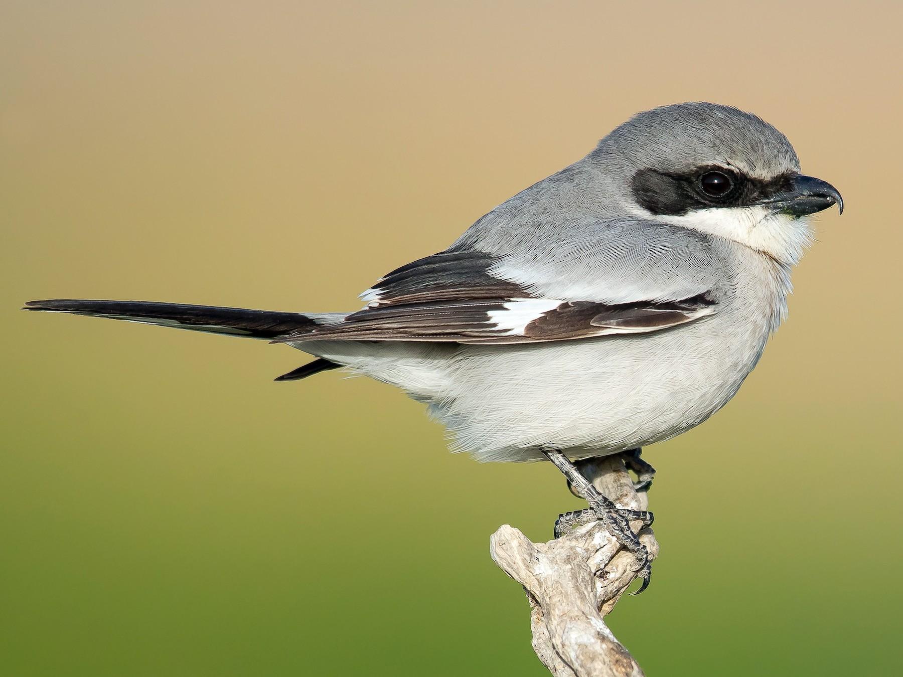 Loggerhead Shrike - Dorian Anderson