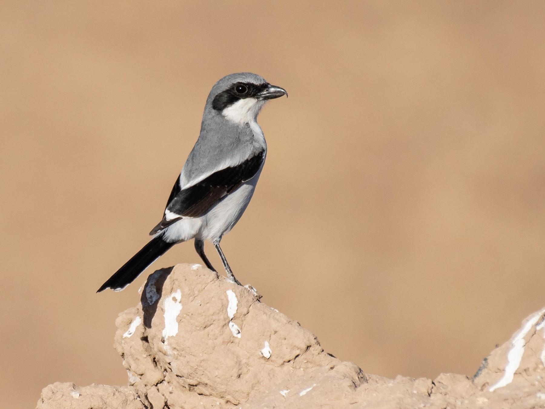 Loggerhead Shrike - Neil Rucker
