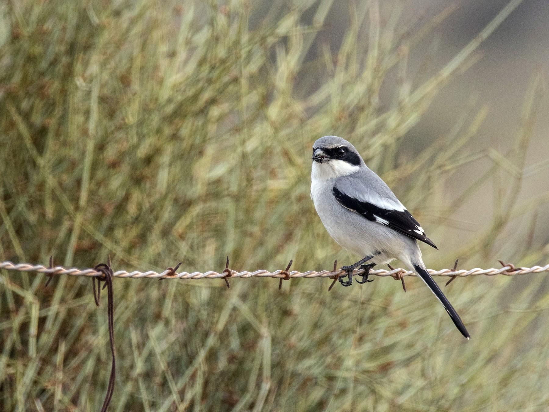 Loggerhead Shrike - Susan Stanton