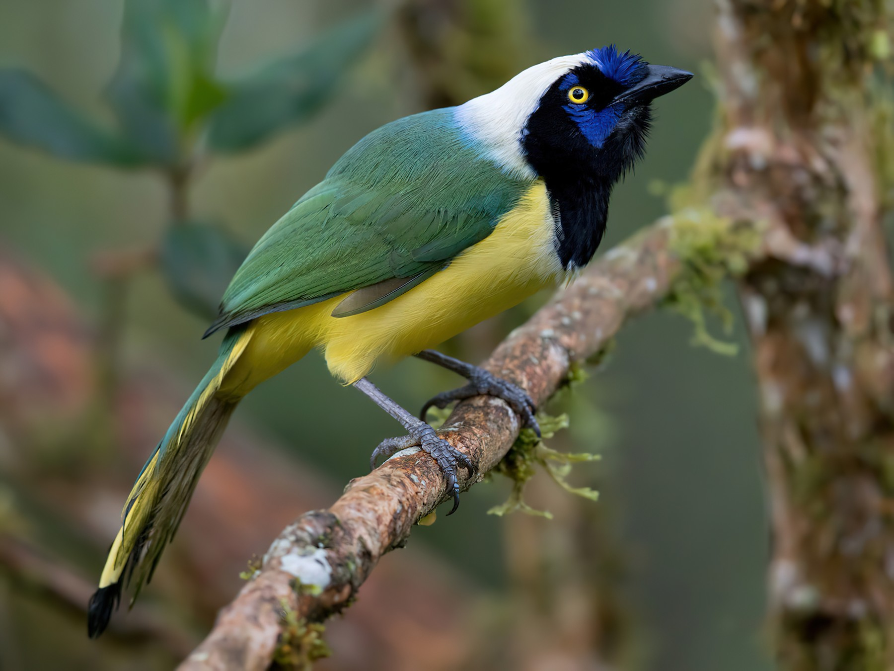 Green Jay - Lars Petersson