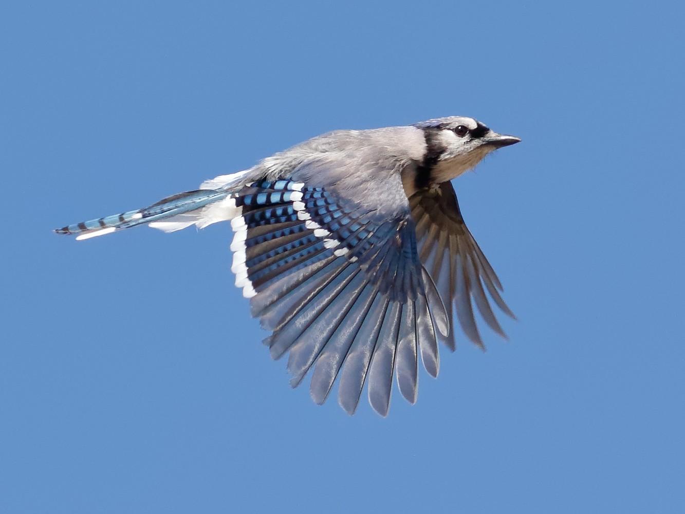 Blue Jay - Steve Kolbe