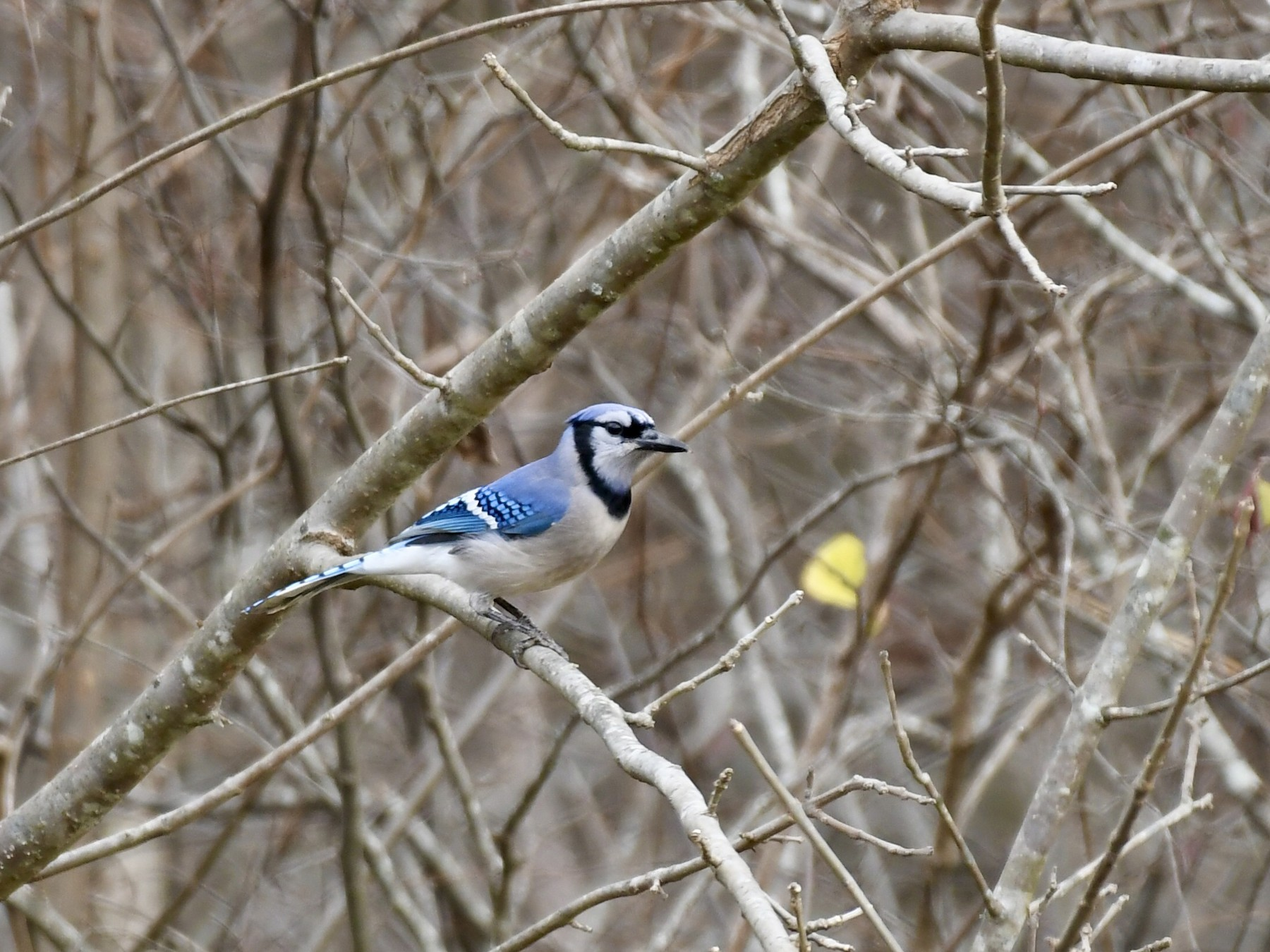 Blue Jay - Joe Wujcik
