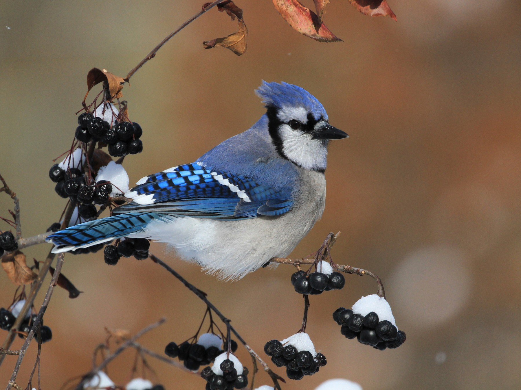 Blue Jay - Diane St-Jacques