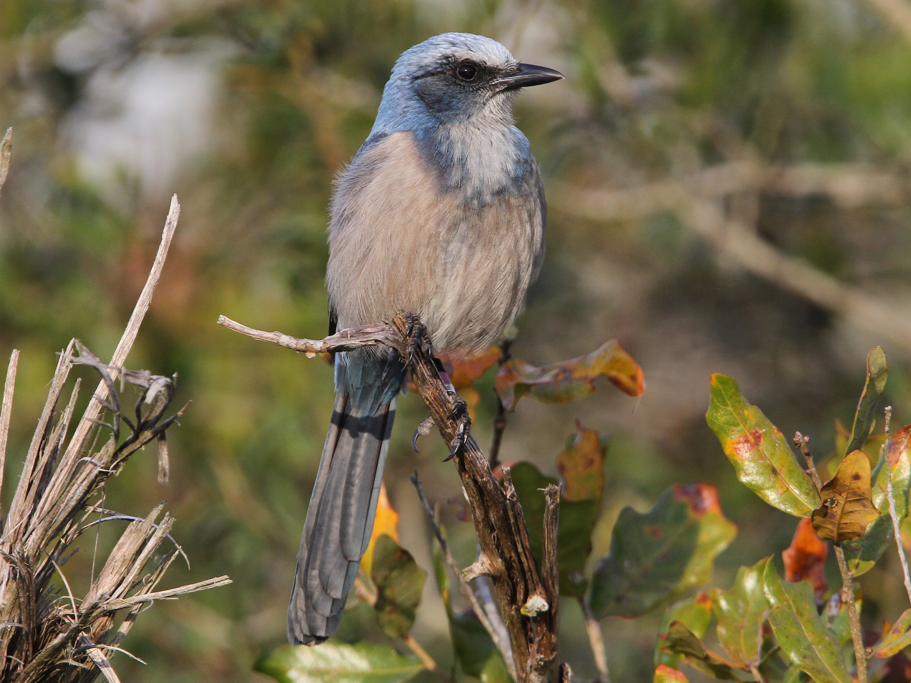 Florida Scrub-Jay - Christoph Moning