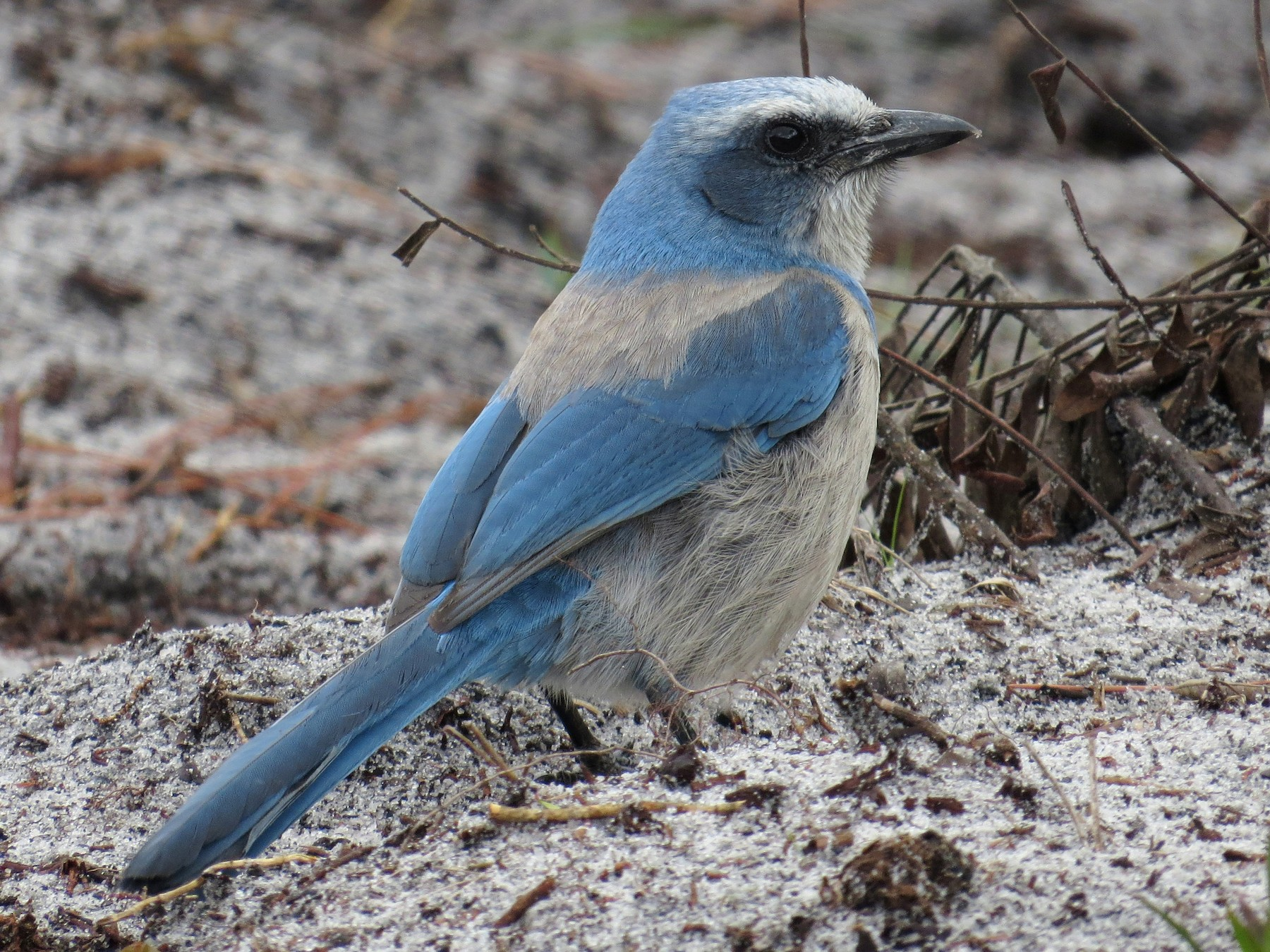 Florida Scrub-Jay - WS Barbour