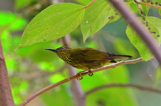 - Purple-naped Spiderhunter