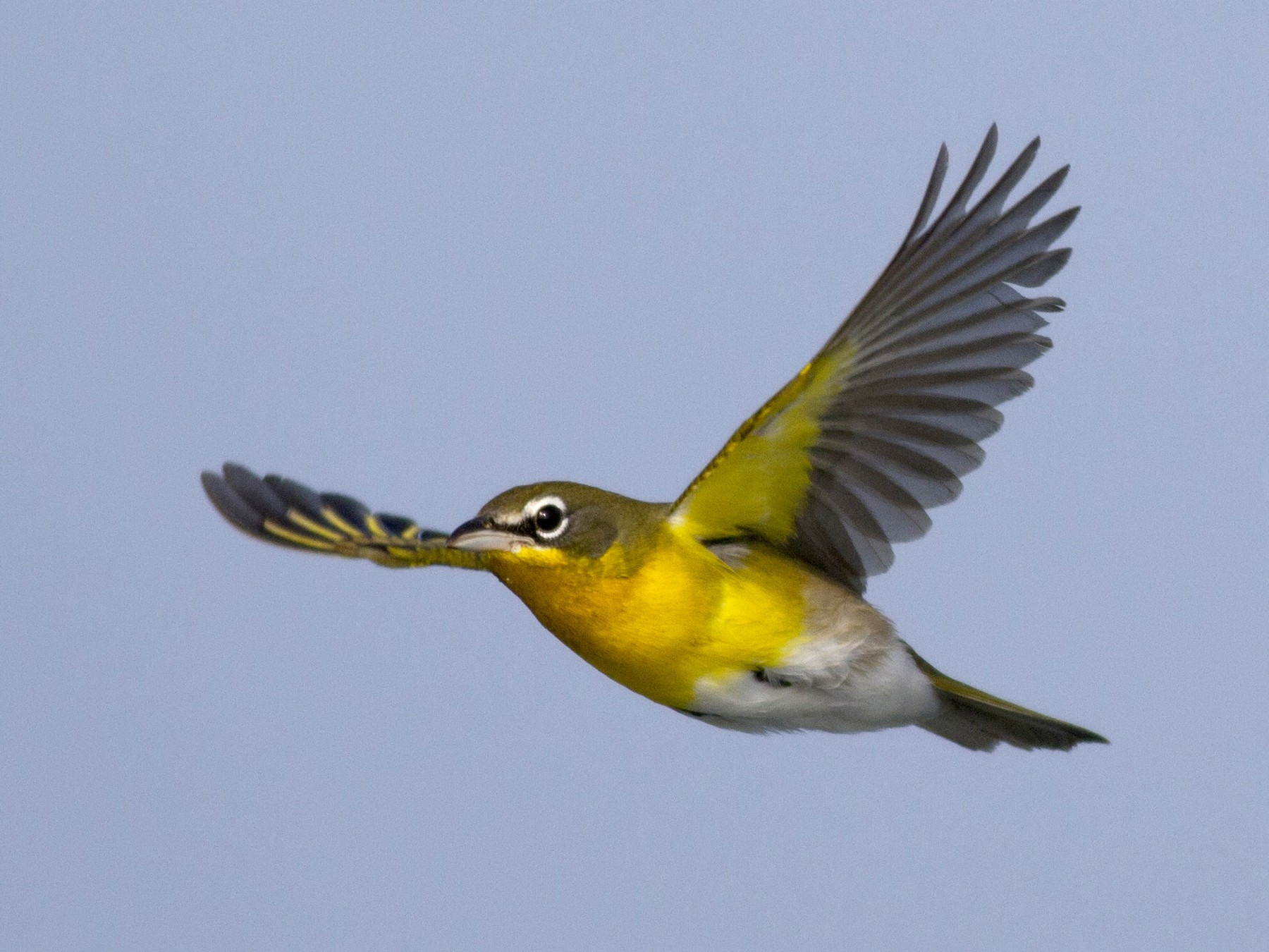 Yellow-breasted Chat - Samuel Paul Galick