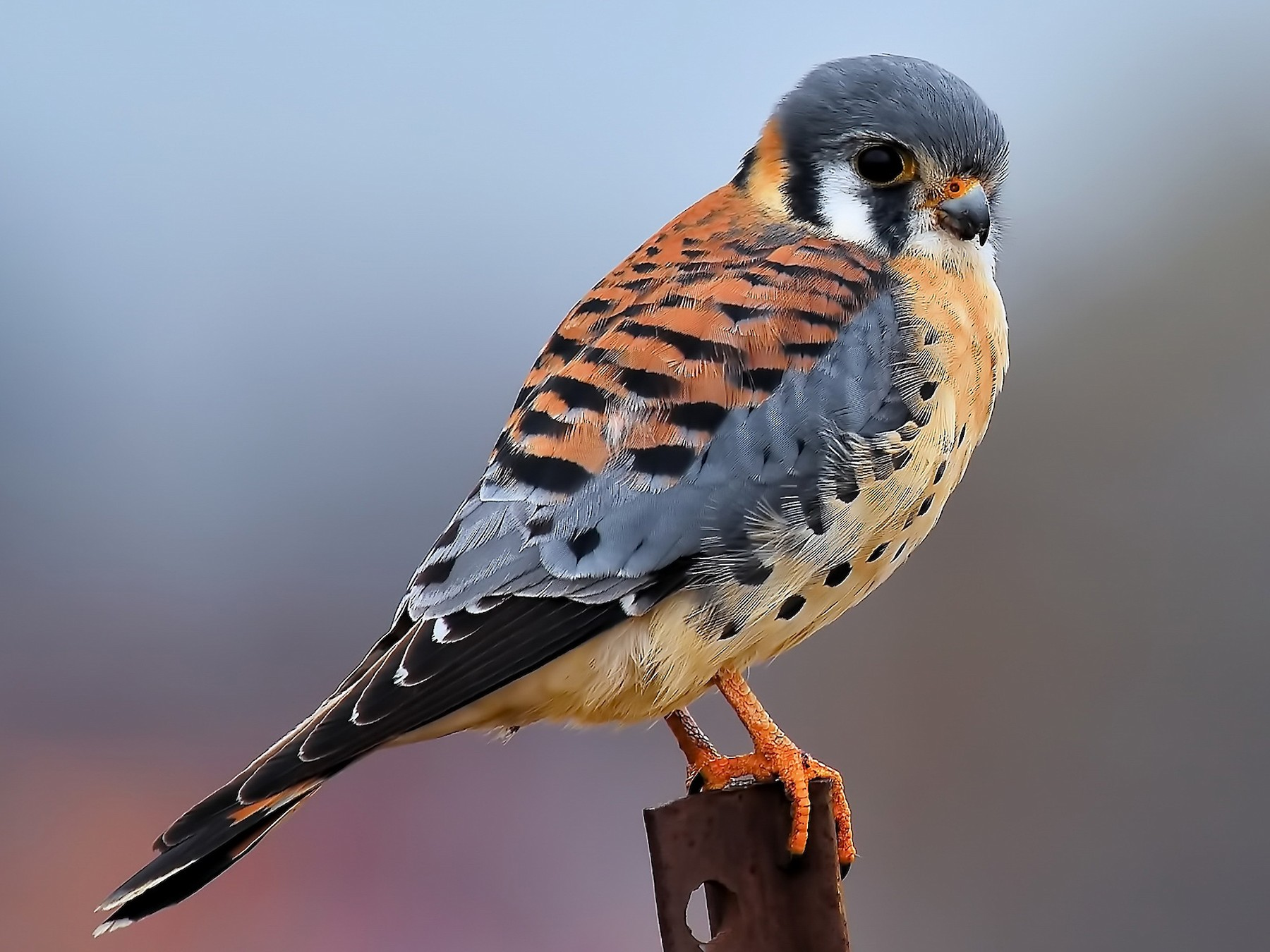American Kestrel - Michael JD