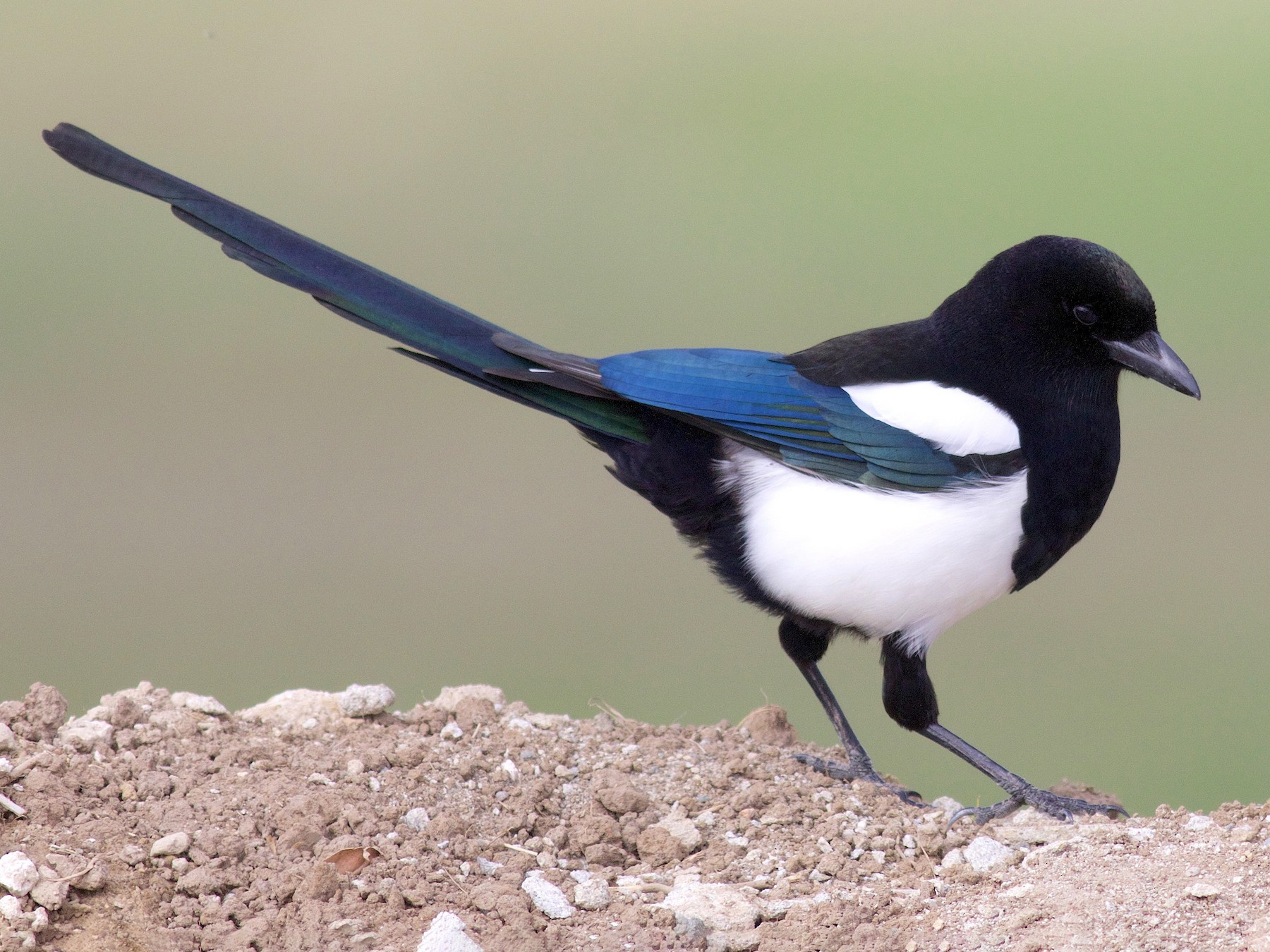 Black-billed Magpie - Kathryn Keith