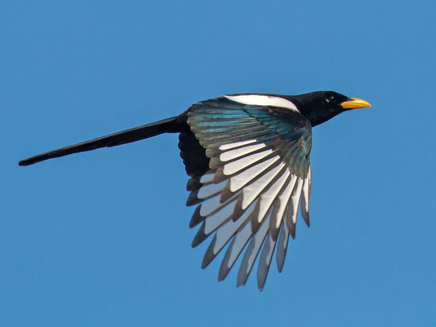 Yellow-billed Magpie - Jim Gain