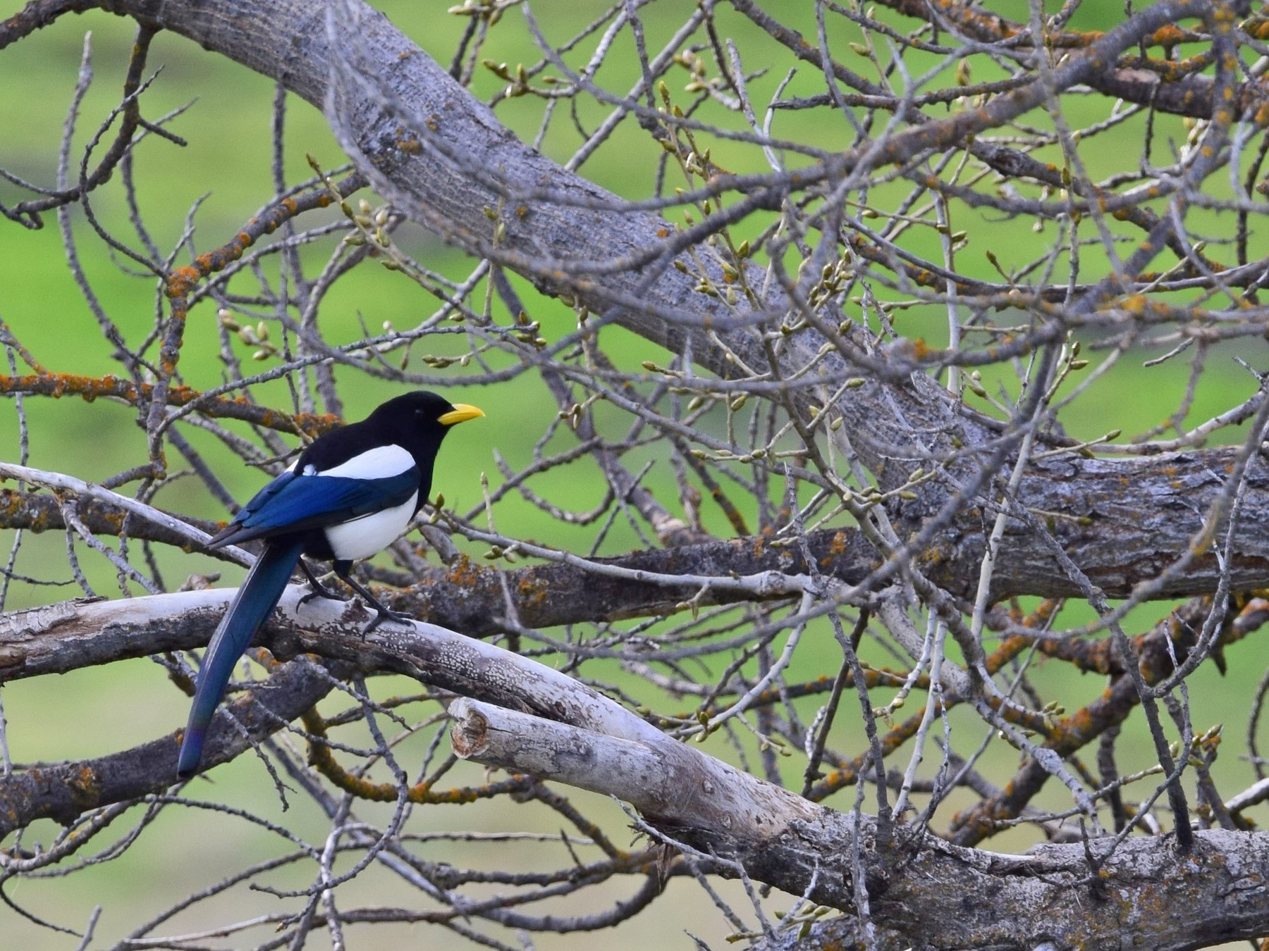 Yellow-billed Magpie - Malory Owen
