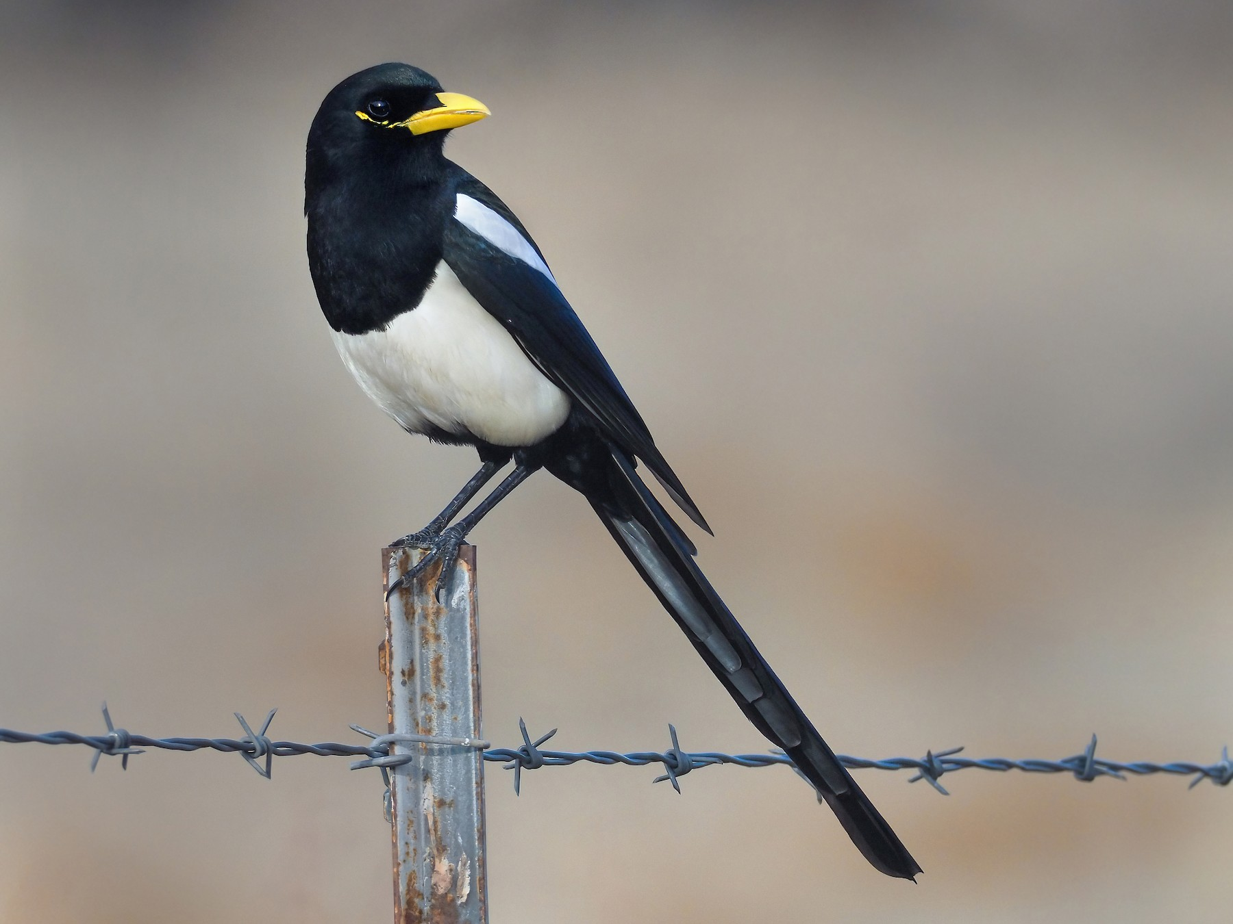 Yellow-billed Magpie - Andrew Spencer