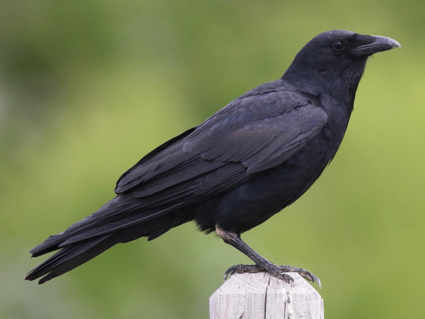Fish Crow - Nathan Dubrow