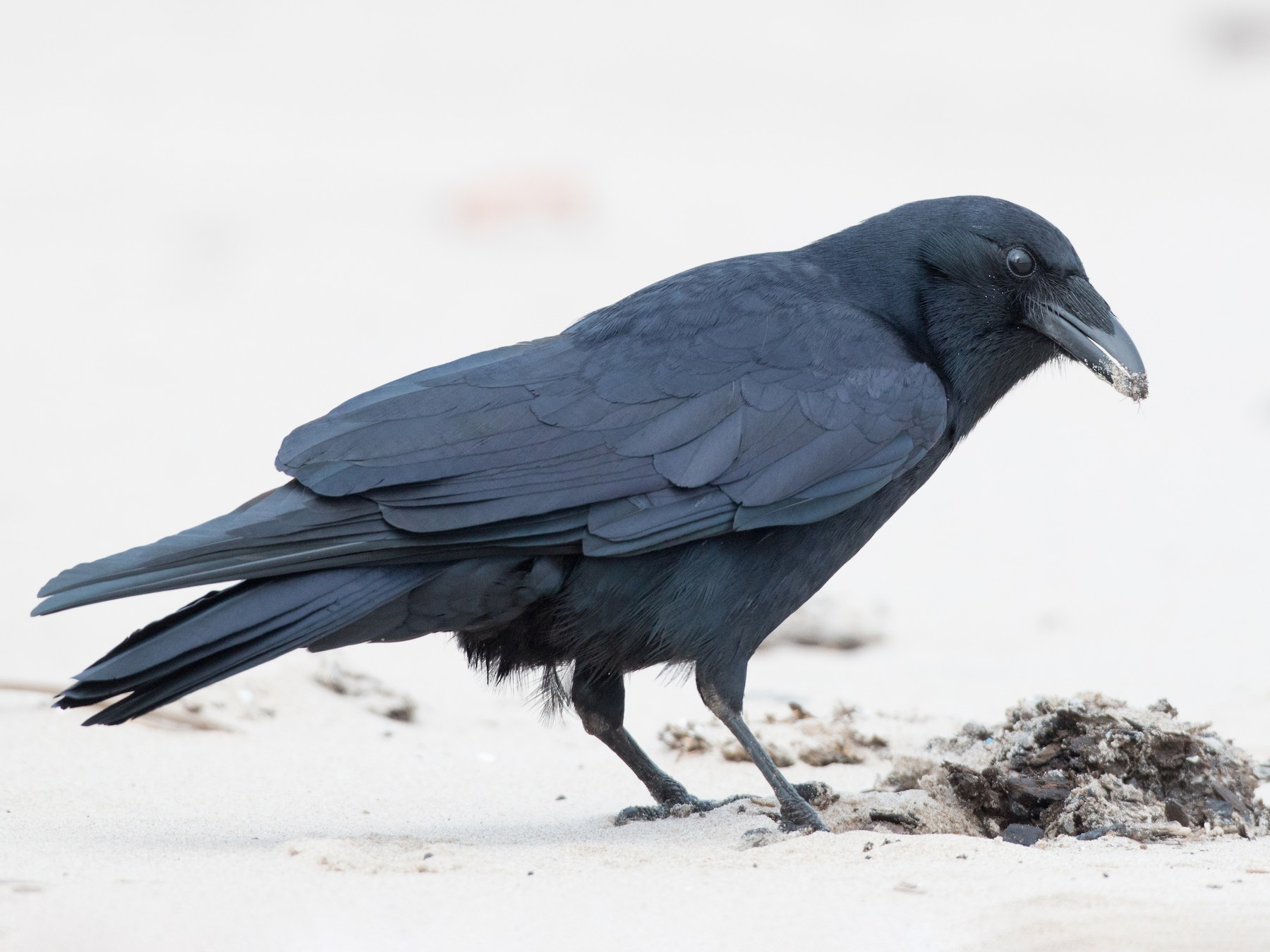 Fish Crow - Ian Davies