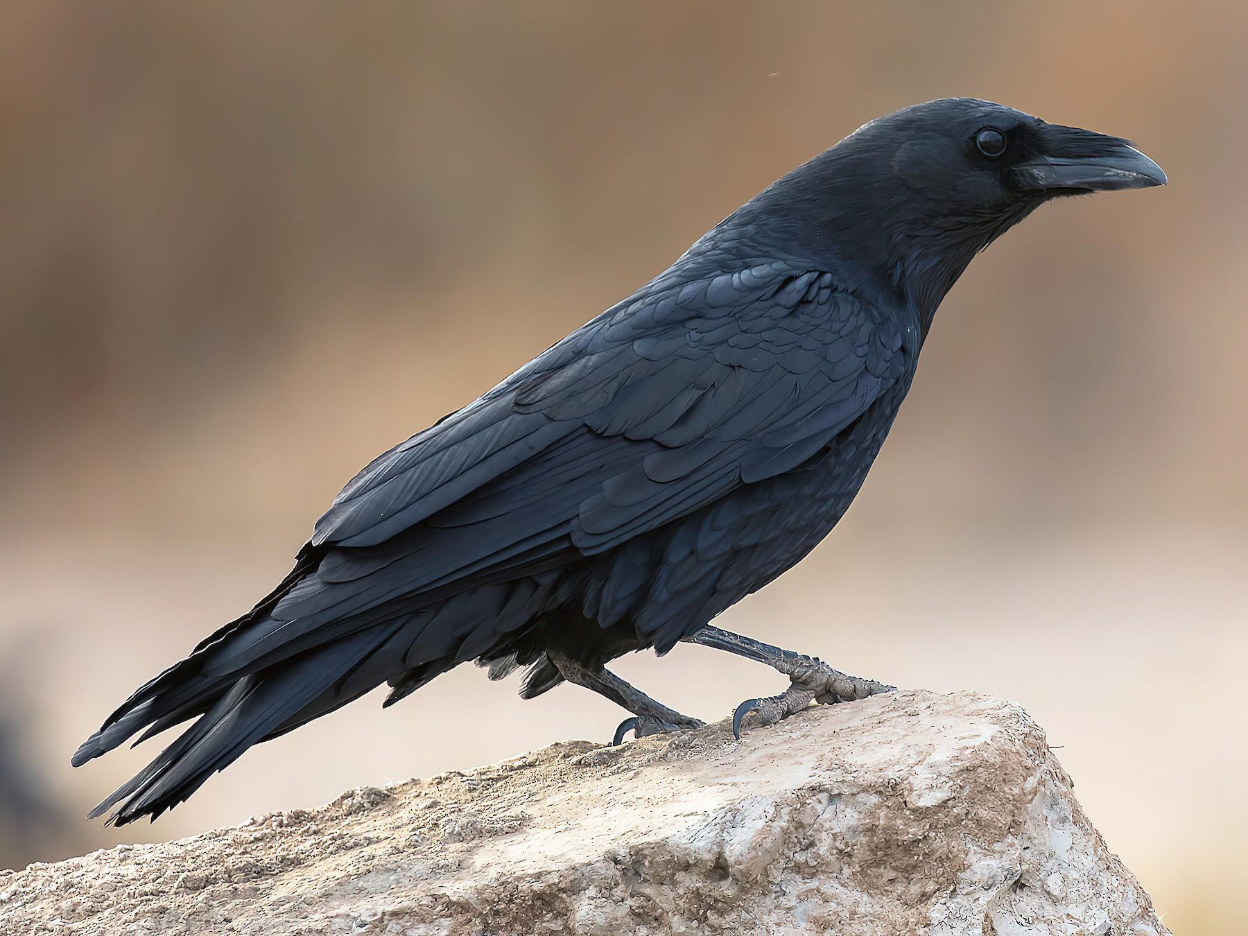 Chihuahuan Raven - Matthew Sim