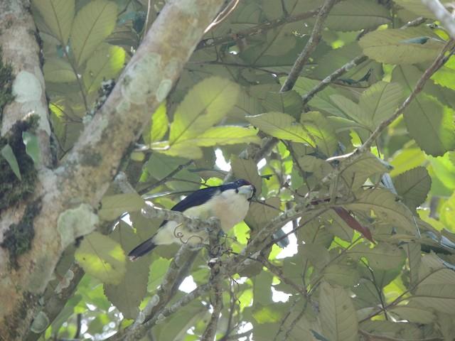 White-mantled Barbet