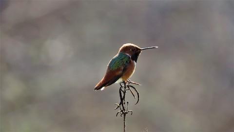 Allen's Hummingbird - Lena Hayashi