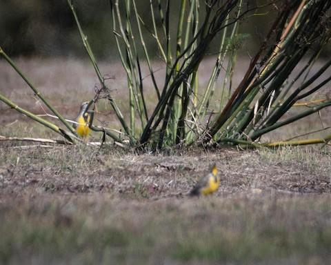 Western Meadowlark - Lena Hayashi