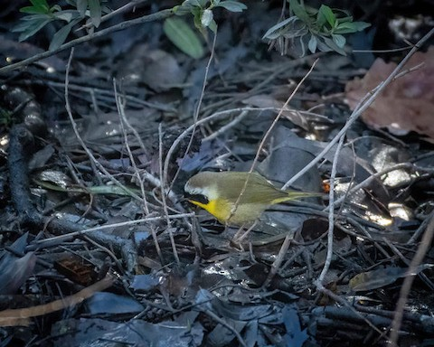Common Yellowthroat - Lena Hayashi