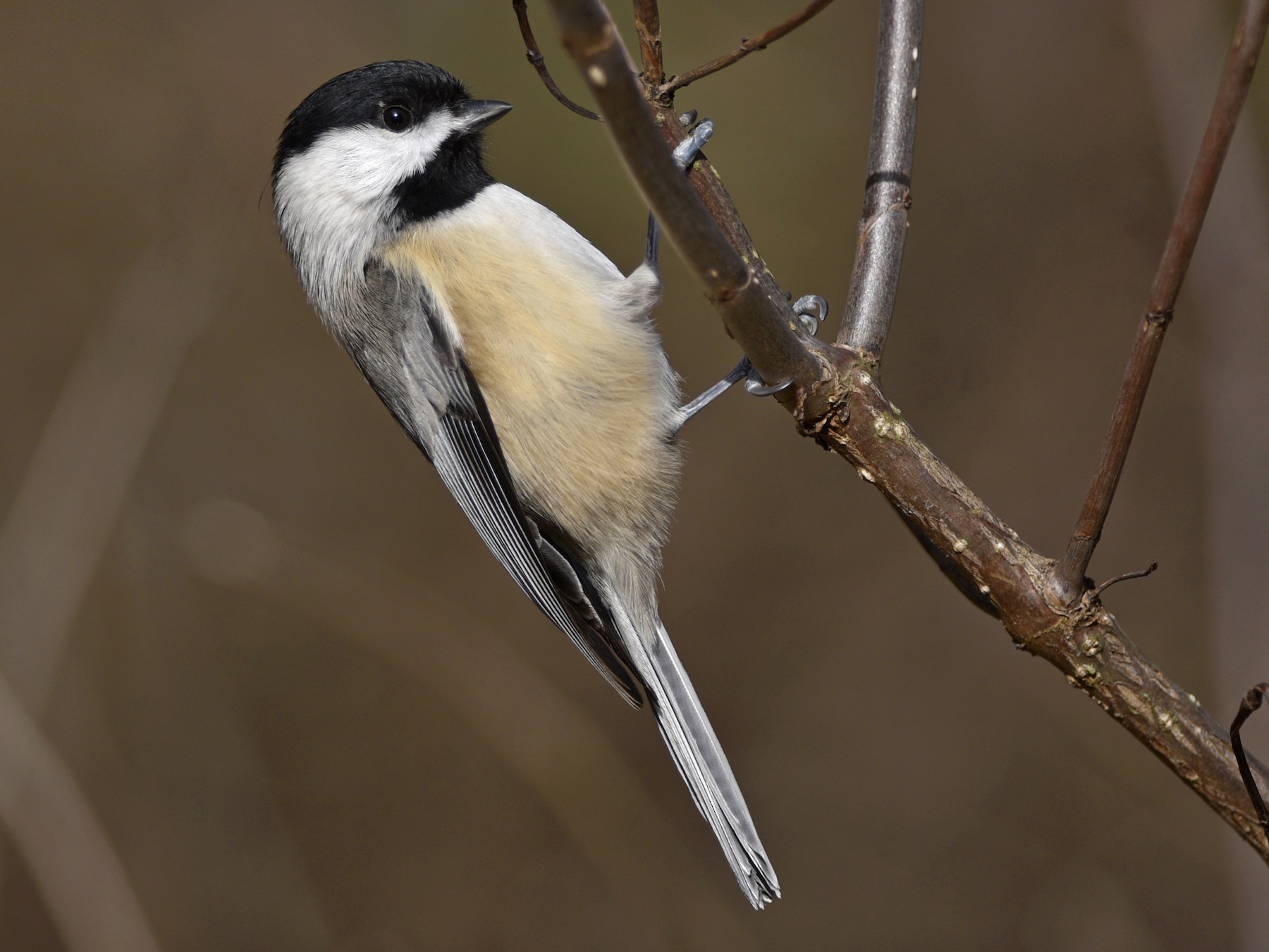 Carolina Chickadee - Daniel Irons
