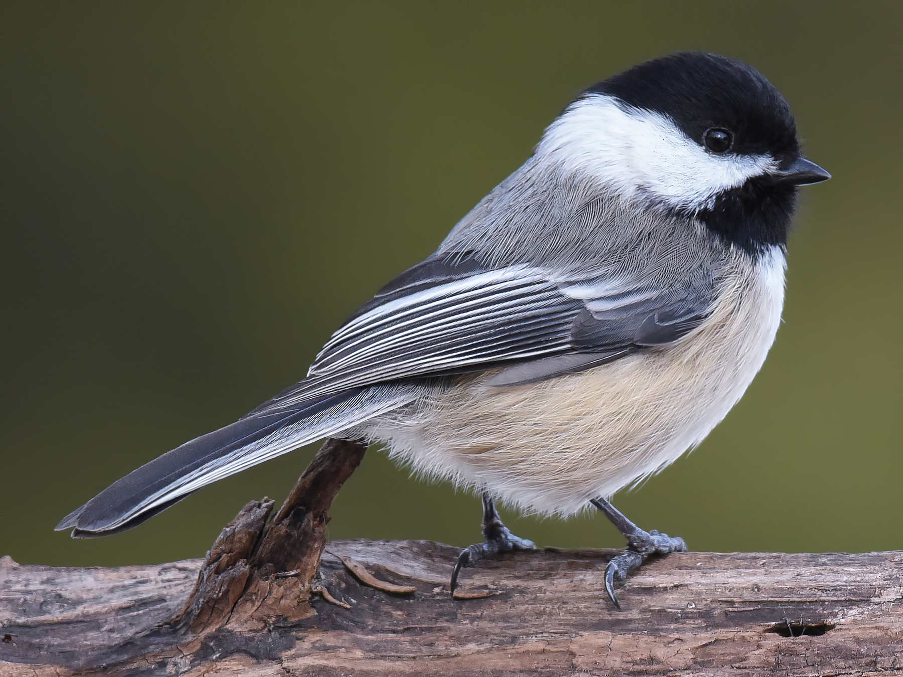 Black-capped Chickadee - Scott Martin