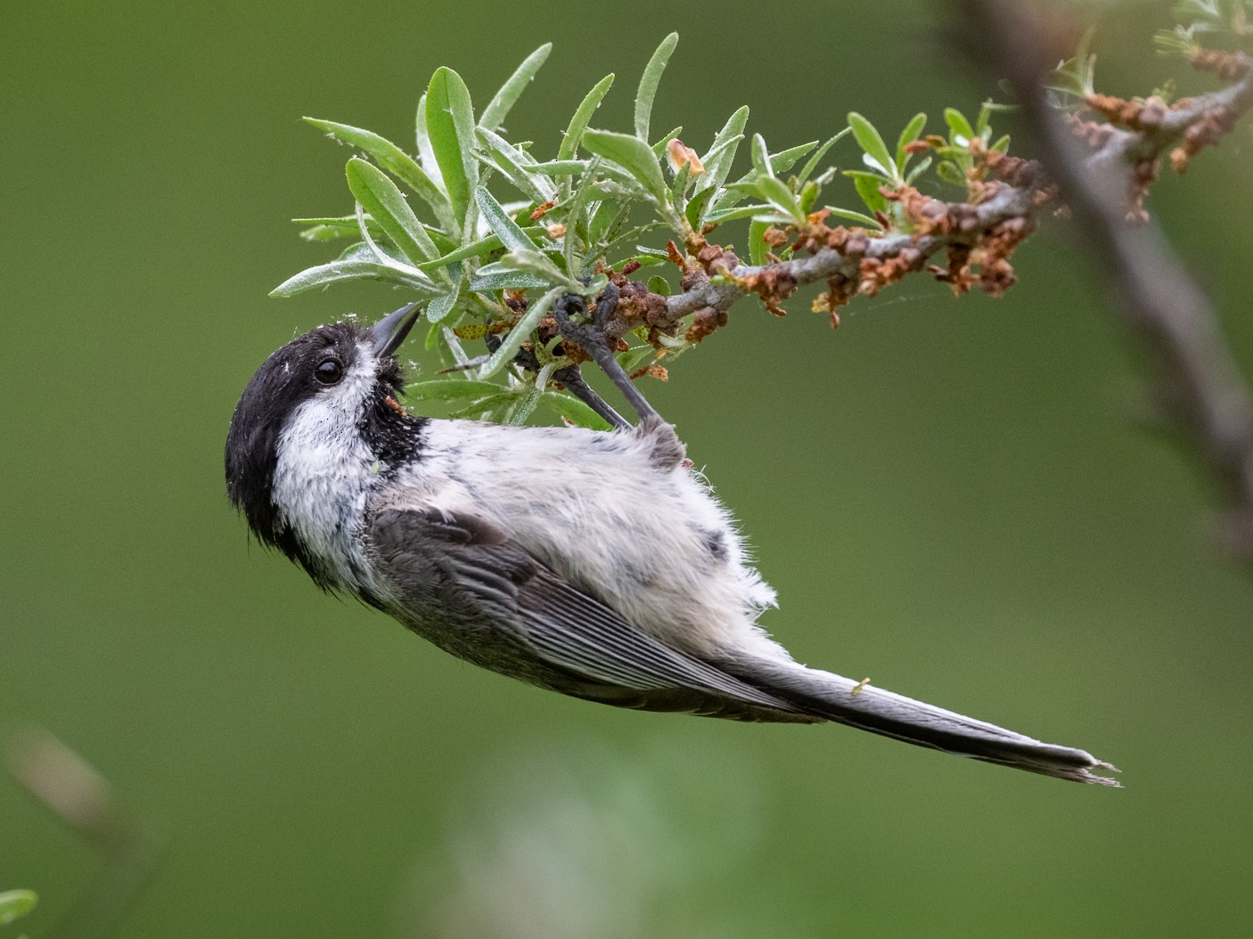 Black-capped Chickadee - Kyle Tansley