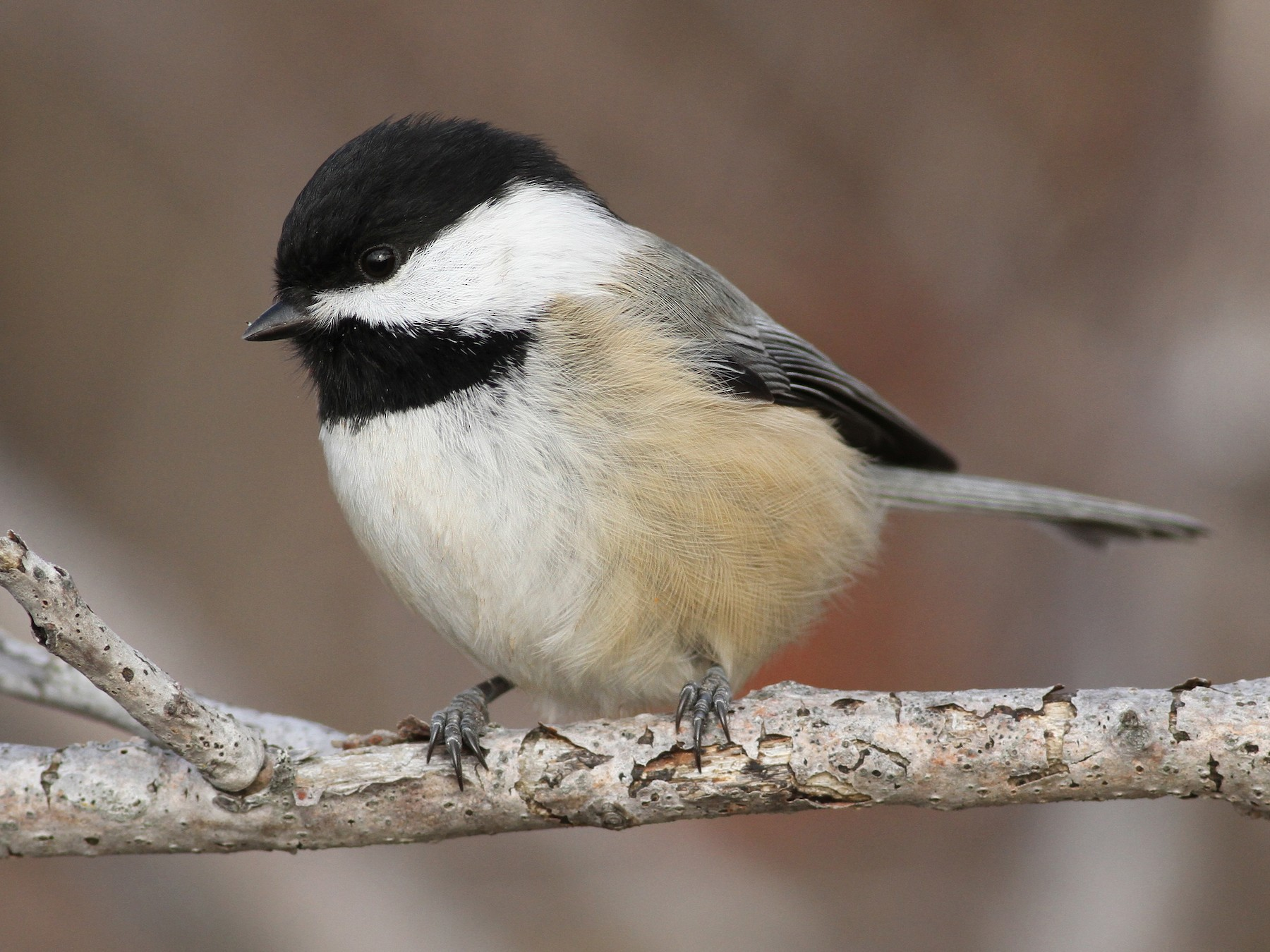 Black-capped Chickadee - Evan Lipton