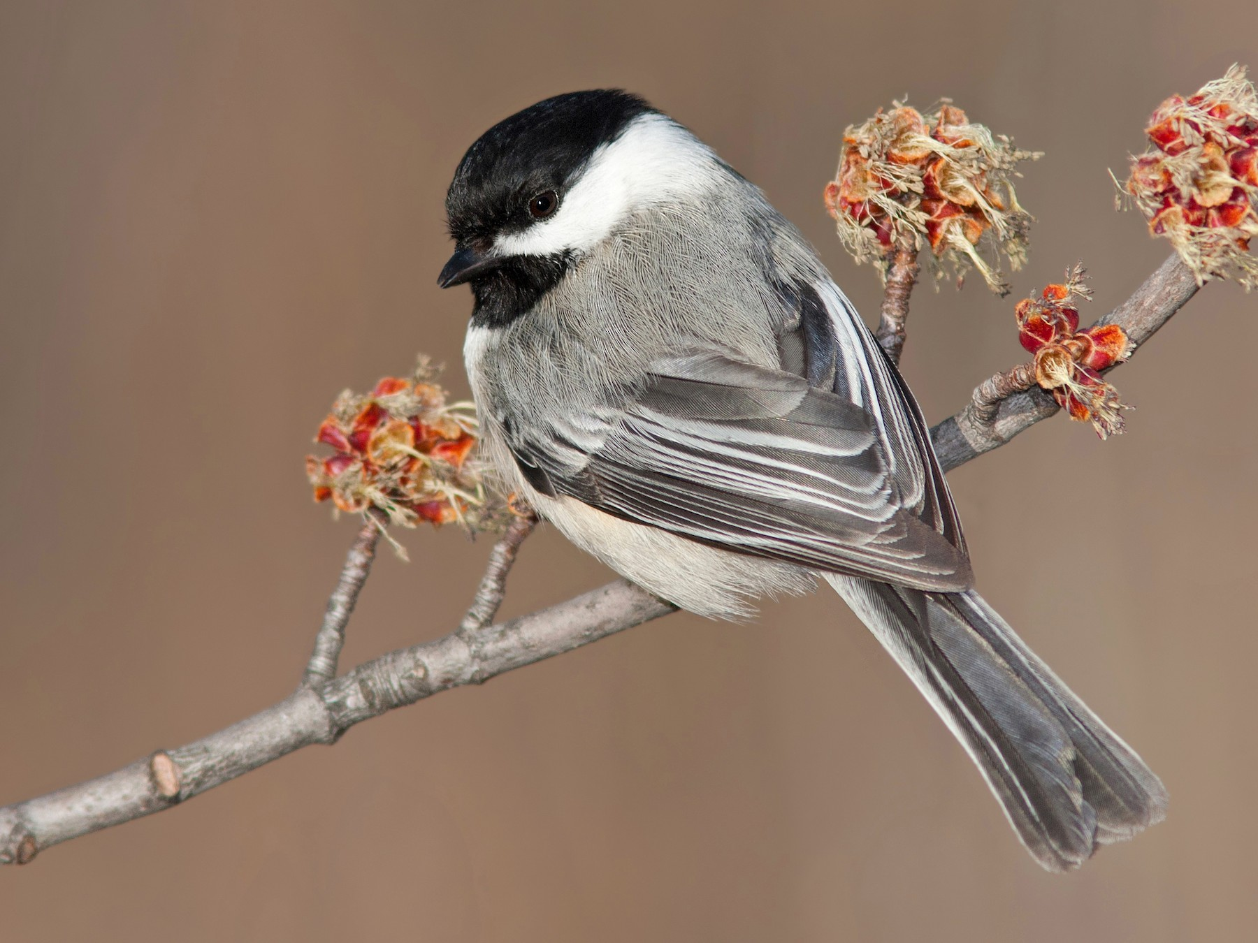 Black-capped Chickadee - Darlene Friedman