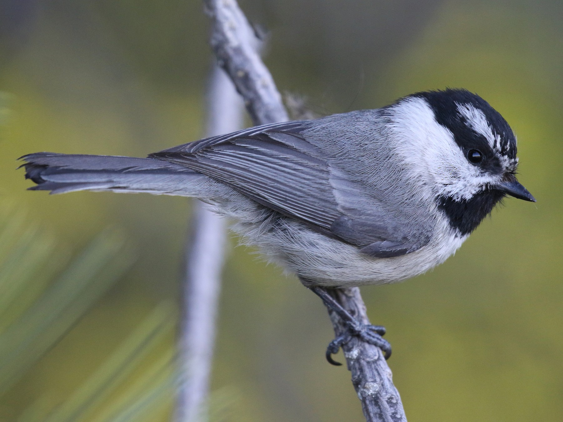 Mountain Chickadee - Michael Woodruff