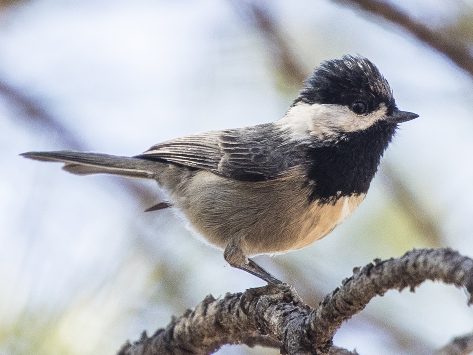 Mexican Chickadee - Michael Henry