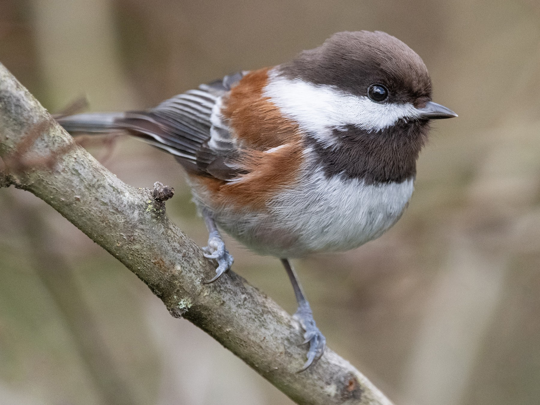 Chestnut-backed Chickadee - Mason Maron