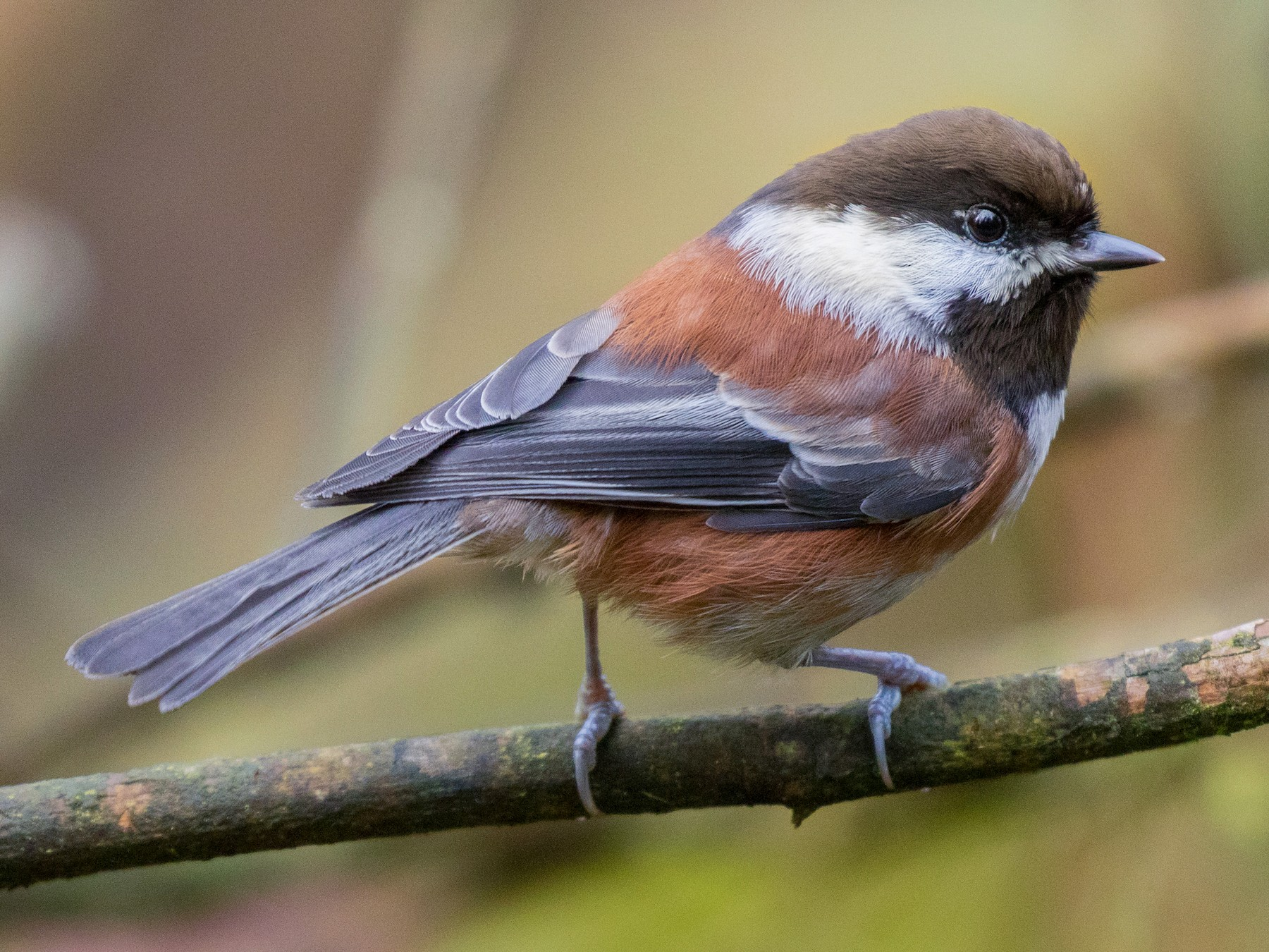 Chestnut-backed Chickadee - John Reynolds