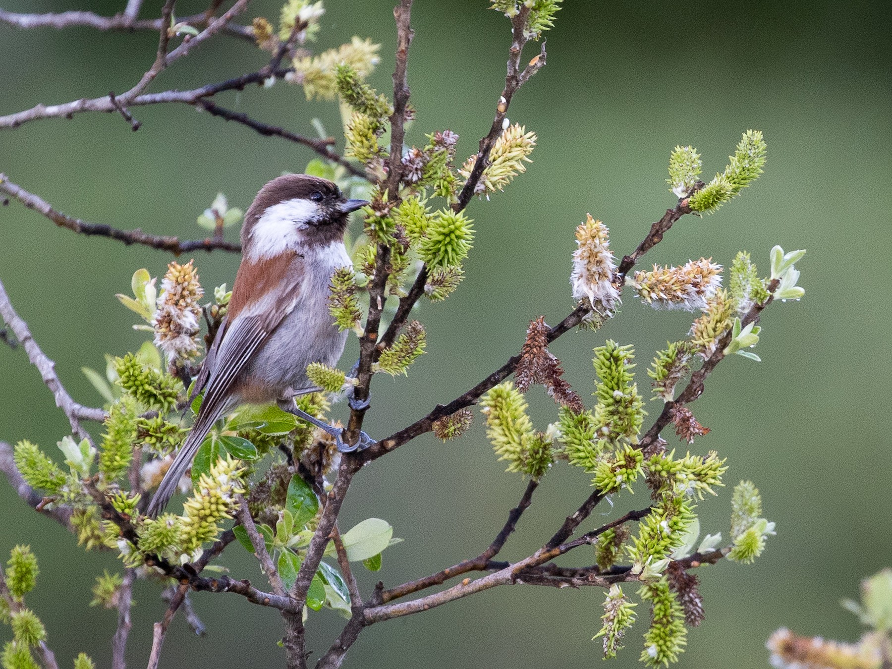 Chestnut-backed Chickadee - Michael Owen Hilchey