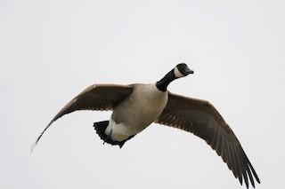 Canada Goose, ML302503211