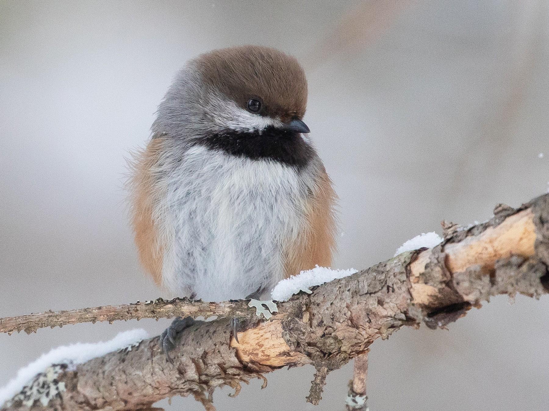 Boreal Chickadee - bellemare celine