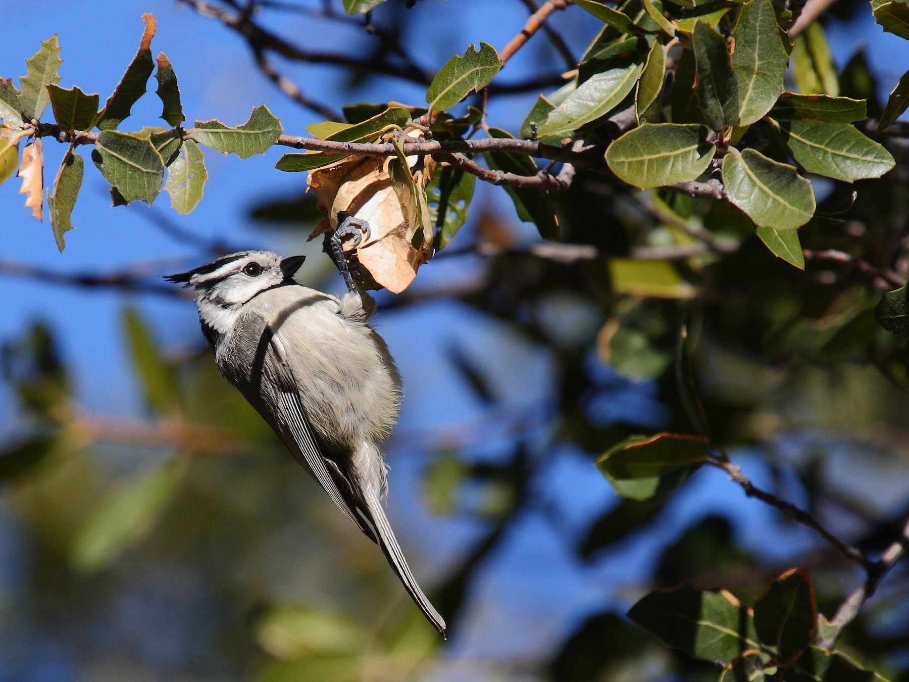 Bridled Titmouse - Janet Hill